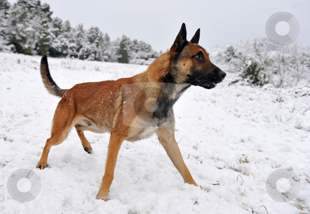 Malinois in the snow stock photo, Alertness purebred belgian shepherd malinois in the snow by Bonzami Emmanuelle