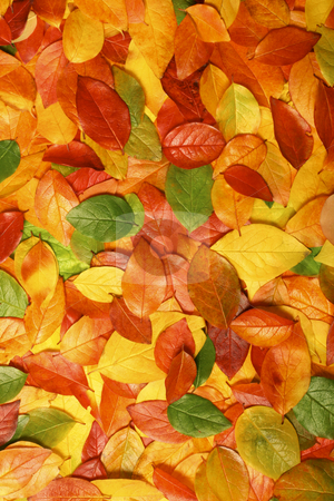 Autumn leaves stock photo, Colorful background of beautiful autumn leaves - perfect for seasonal usage by Jon Helgason