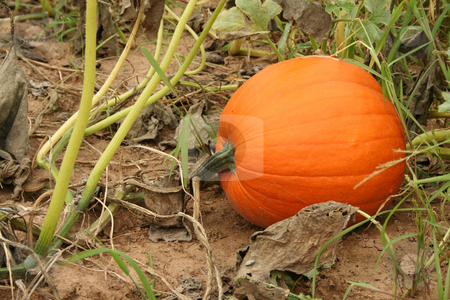Pumpkin in the field stock photo, Pumpkin in the field ready for picking by Jim Mills