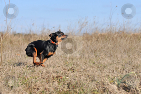 Running little dog stock photo, Running purebred miniature pinscher in a field by Bonzami Emmanuelle
