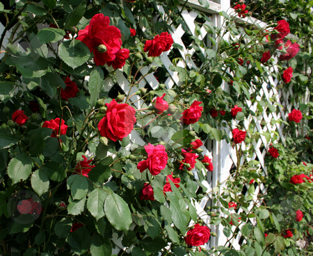 Red Rose Trellis stock photo, A white trellis supporting a red rose vine. by Chris Hill