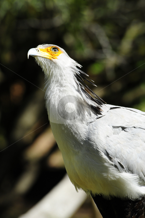 Secretary Bird stock photo, A large secretary bird looking up by Don Fink