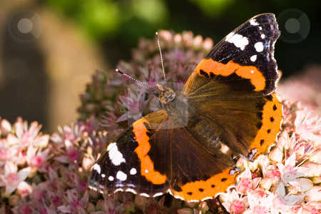 Red Admiral stock photo, Red Admiral in the sun on sedum, getting nectar by Colette Planken-Kooij