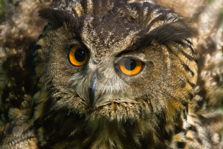 Angry looking eagle owl stock photo, Angry looking eagle owl with all its feathers set up by Colette Planken-Kooij