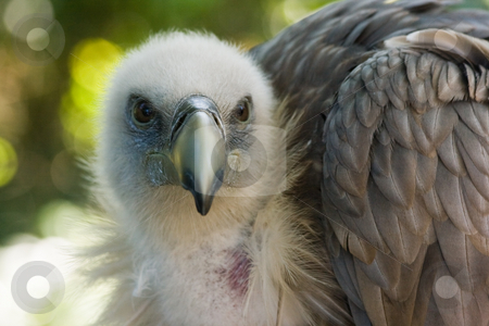 Griffon Vulture looking stock photo, Griffon Vulture sitting in the shadow and looking by Colette Planken-Kooij