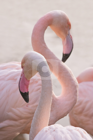 Flamingos stock photo, Flamingos making toilet on an early summermorning by Colette Planken-Kooij