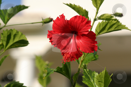Red Hibiscus stock photo, A red hibiscus shot at a Mexican resort. by Chris Hill
