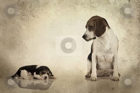 Beagle mom stock photo, A beagle mom after is pregnancy looking to her puppy (Grunge background added) by ikostudio