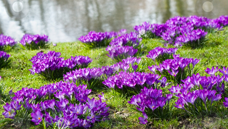 Purple crocus at the waterside stock photo, Purple spring crocus blooming at the waterside in march by Colette Planken-Kooij