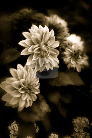 Dahlia in sepia stock photo, Fine art image of dahlia flowers finished in sepia by Stephen Orsillo