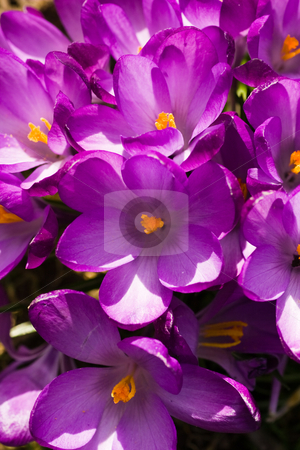 Croup of purple spring crocus stock photo, Croup of purple spring crocus blooming in the sun in close view by Colette Planken-Kooij