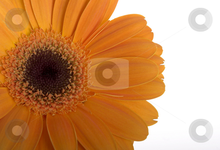 Beautiful orange flower stock photo, Beautiful orange flower with water drops on a white background by ikostudio