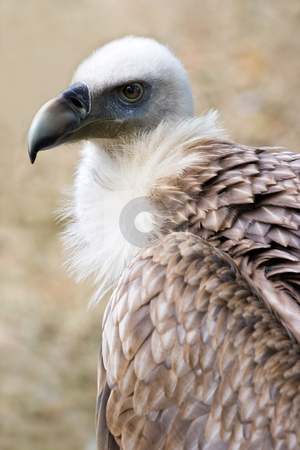 Griffon vulture in side angle view stock photo, Portrait of Griffon vulture in side angle view by Colette Planken-Kooij