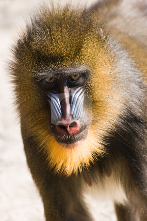 Female mandrill fast running stock photo, Female mandrill fast running  in afternoon sun by Colette Planken-Kooij