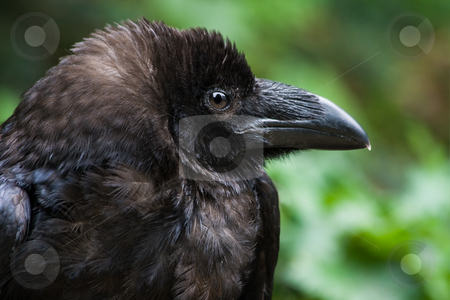 Common raven or Northern raven stock photo, Common raven or Northern raven in side angle view - horizontal image by Colette Planken-Kooij