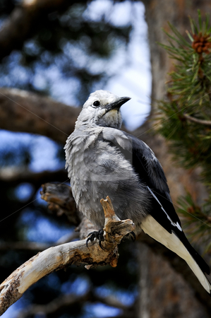 Clark's Nutcracker stock photo, A common Rocky Mountain seed eater, this bird is often mistaken for the smaller Gray Jay. by Bonnie Fink