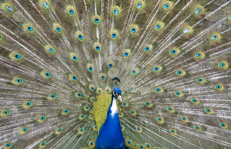 Peacock stock photo,  by Bo Valentino