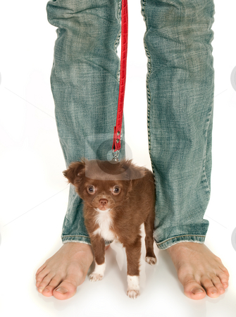 Tiny puppy and big feet stock photo, Tiny chihuahua puppy standing at his boss' large feet by Anneke