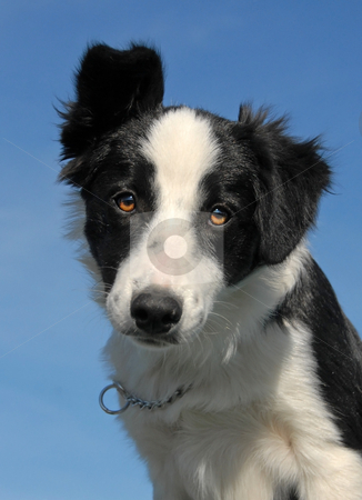 Puppy border collie stock photo, Portrait of a puppy purebred border collie, focus on the eyes by Bonzami Emmanuelle