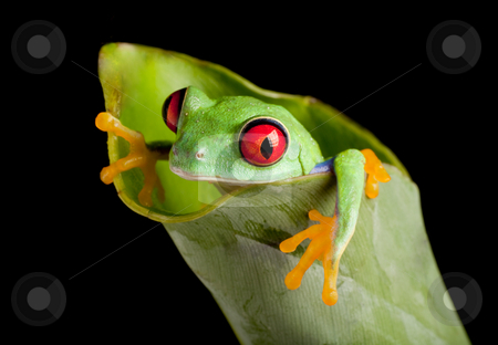 Red eyed frog in banana leaf stock photo, Red eyed tree frog on banana leaf by Anneke