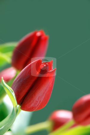 Tulips stock photo, Red tulips on green backgound by Valentyna Chukhlyebova 