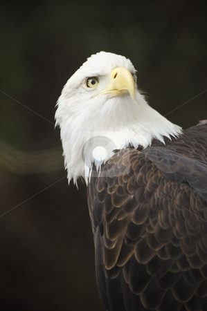 American Bald Eagle stock photo, Close up of an American Bald Eagle by Don Fink
