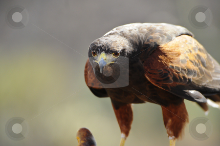 Harris Hawk stock photo, A harris hawk perched on a branch looking at camera by Don Fink