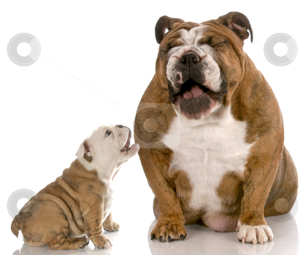 Dog laughing at puppy barking stock photo, English bulldog puppy barking at laughing dog on white background by John McAllister