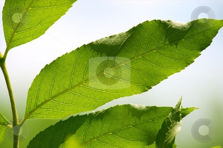Leaves stock photo, Closeup of green backlit leaves by P?