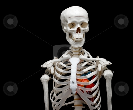 Skeleton stock photo, Skeleton model with a heart in it by P?