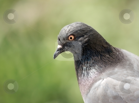 Bird stock photo, Portrait of a pigeon in a green field by P?