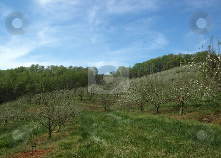 Apple trees stock photo, Apple trees in bloom on a rural farm during the spring by Tim Markley