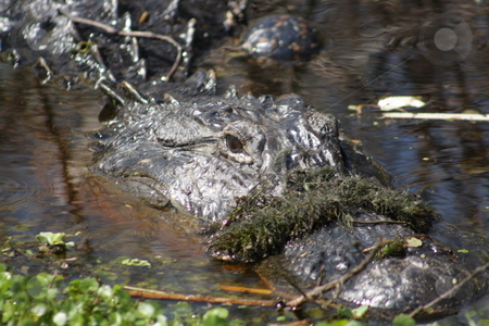 Florida Alligator in the Wild (5) stock photo, A large alligator in a central Florida swamp. by Carl Stewart