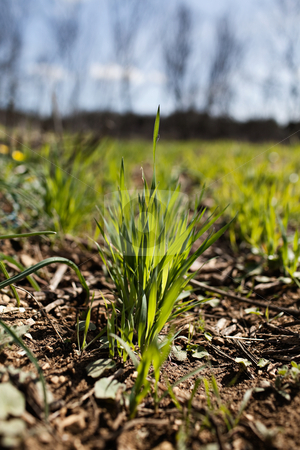 Wheat grass stock photo, Some wheat grass at the begining of spring, symbol of revival by Fred DE BAILLIENCOURT