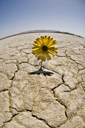 Lonely Daisy stock photo, Flower grows in a dried lake bed by Omair Khan