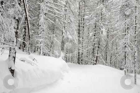 Forest stock photo, Forest covered by snow in winter by P?