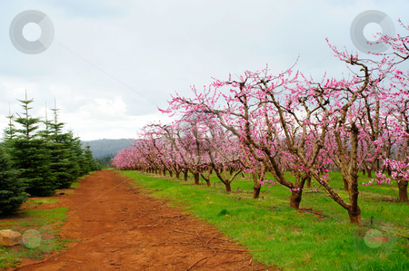 Apple Orchard stock photo, Apple orchard with rows of trees covered in pink flowers that will grow into fresh apples by Lynn Bendickson