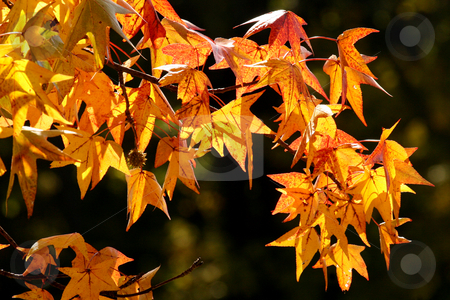 Golden Autumn Leaves stock photo, Autumn leaves backlit by sunlight by April Robinson