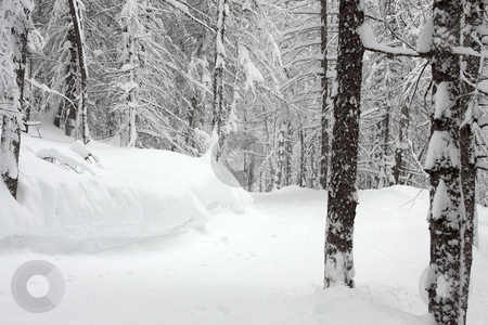 Forest stock photo, Pale winter forest with trees covered by snow by P?