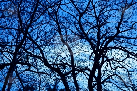 Trees stock photo, Bare, leafless tree branches against evening blue sky by P?