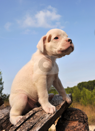 Puppy boxer stock photo, Portrait of a young puppy white boxer by Bonzami Emmanuelle
