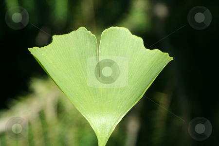 Ginkgo stock photo, Green ginkgo leaf on a tree Ginkgo by Marén Wischnewski