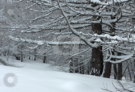 Winter stock photo, Winter forest with snow on the branches by P?