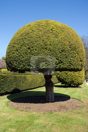 Topiary tree stock photo, Topiary tree set in a formal garden on a bright summer day by Paul Phillips