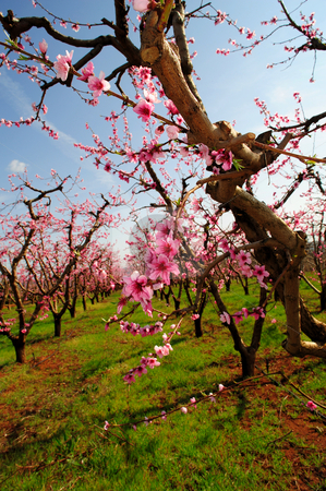 Spring Apple Blossoms stock photo, Apple orchard with rows of trees covered in pink flowers that will grow into fresh apples by Lynn Bendickson