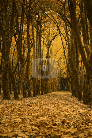 Fall landscape stock photo, Fall landscape with very high trees and beautiful leaves by ikostudio