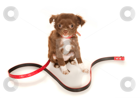 brown long haired chihuahua puppy. Brown longhaired Chihuahua