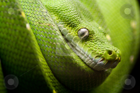 Snake stock photo, A green snake on the hunt by Jan Schering