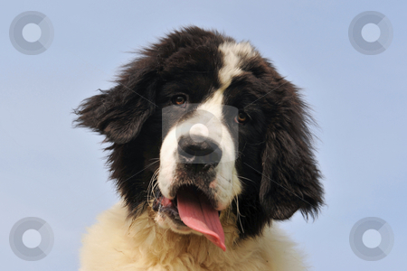 Puppy landseer stock photo, Portrait of a purebred newfoundland dog landseer in a blue sky by Bonzami Emmanuelle
