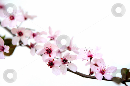 Pink Plum Blossoms stock photo, Plum flowers with pink petals and bright red centers on a branch against a light colored background. by Lynn Bendickson